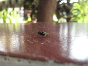lalat merah